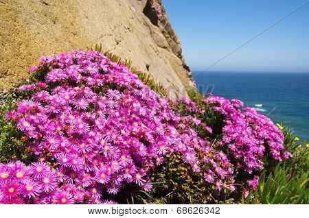 Sea Fig Blossom - Carpobrotus Chilensis