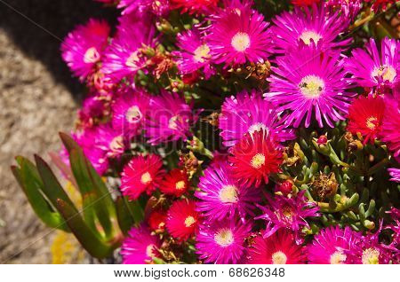 Wild Sea Fig Flowers - Carpobrotus Chilensis
