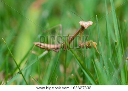 Praying mantis walking in grass in close up macro image