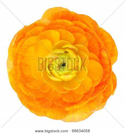 Light Orange Buttercup