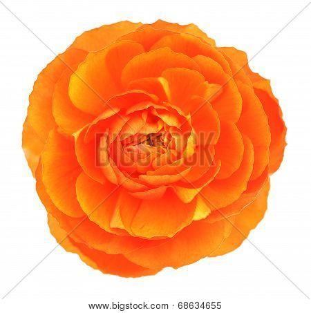 Single Orange Buttercup