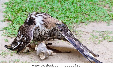 Changeable Hawk Eagle (nisaetus Limnaeetus)