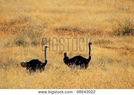 Ostriches (Struthio camelus) walking through backlit grassland, South Africa