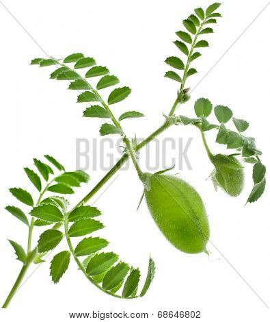 Green young pea plant sprouts isolated on white background