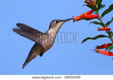 Ruby-throated Hummingbird At A Cigar Flower