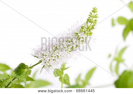 Closeup Photo Of Mint Flower On White