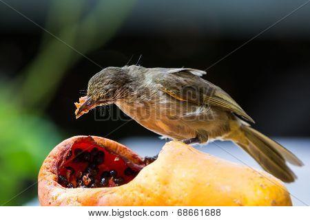 Streak-eared Bubul Bird