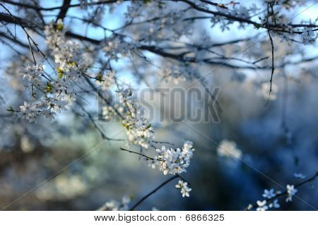 Plum Blossoms In Early Spring