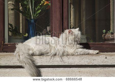 White tomcat.