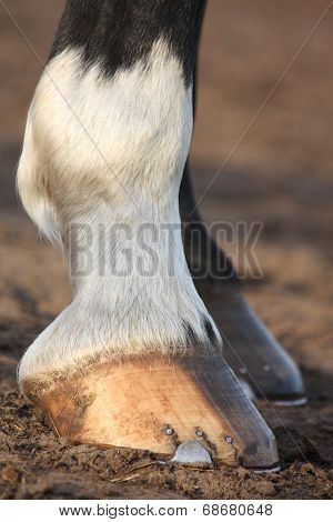 Close Up Of Black Horse Hoofs
