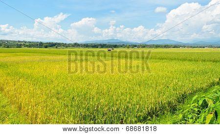 Landscape Rice Field