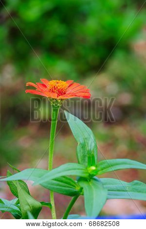 Close Up Orange Zinnia Flower