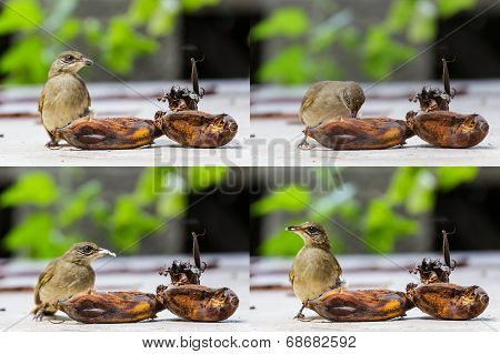 Streak-eared Bubul Bird Eating Ripen Banana