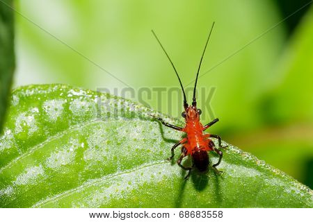 Tiny Beautiful Asian Red And Black Long Horn Grasshopper