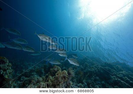 roten Makrelen und Ozean