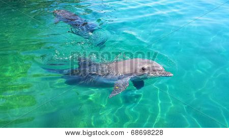 Swimming wild dolphin