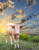 stock photo of longhorn  - Young longhorn calf exploring the Texas prairie at sunrise - JPG
