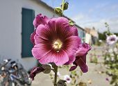 pic of hollyhock  - Hollyhock in an empty street in a village on Ile d - JPG