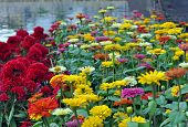 stock photo of celosia  - zinnia and Celosia flowers in garden aside river - JPG