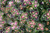 foto of fireball  - top view of Plectranthus scutellariodes Fireball Coleus for background uses - JPG
