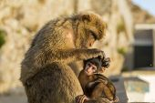 stock photo of gibraltar  - A Baby Berber Monkey With Its Mother In Gibraltar - JPG