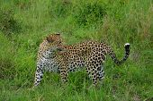 stock photo of leopard  - African leopard turning around to go back