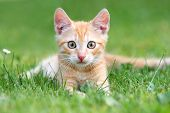 picture of orange kitten  - Orange kitten portrait - JPG
