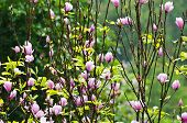 picture of saucer magnolia  - Pink Magnolia Soulangeana flowers blooming in the rain - JPG