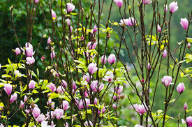 stock photo of saucer magnolia  - Pink Magnolia Soulangeana flowers blooming in the rain - JPG