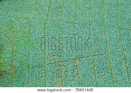 Cabbage Field In Phu Thap Boek, Phetchabun, Thailand