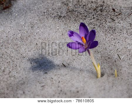 Crocus - blue flower of Carpathian mountains in spring