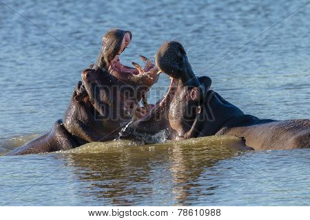 Hippos Fight Wildlife