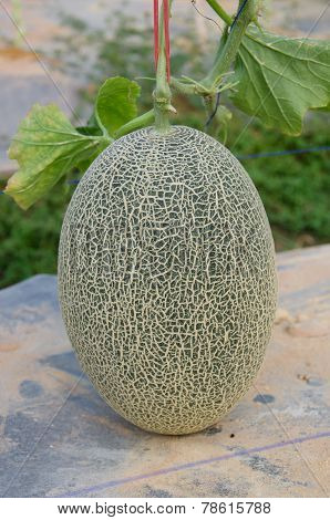 Netted Melon About To Harvest