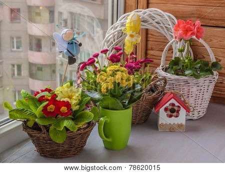 Primrose And Daisies Growing In Baskets On Window