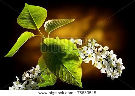 Bird Cherry Tree Flowers