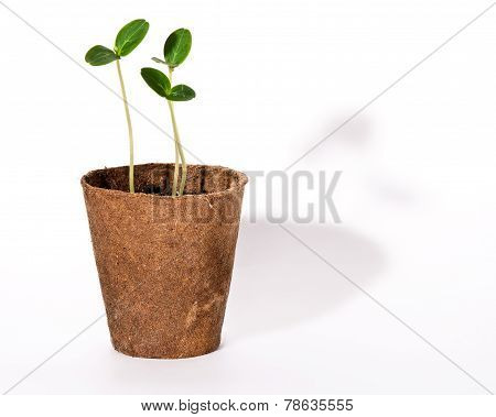 Sprouts Of Cucumbers