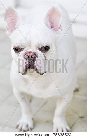 A White French Bulldog's Looking To Something