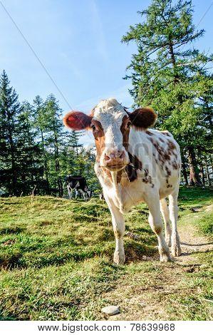 Curious Young Calf