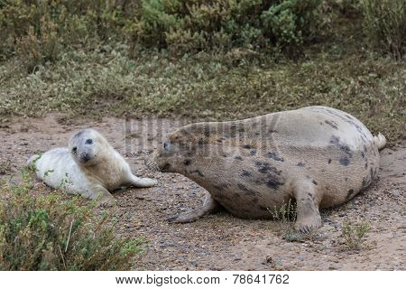 Grey Seal Cow And Pup.