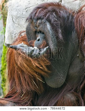 An adult male orangutan eating from his own opened hand.