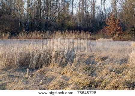 Dried Winter Reeds