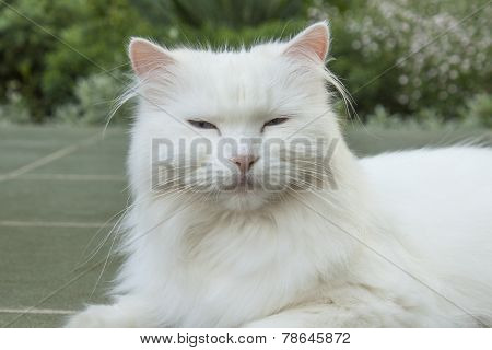 Goody-goody white cat.