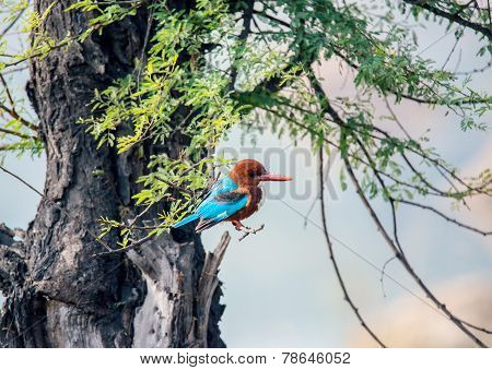 blue Kingfisher bird, on a tree, beak right
