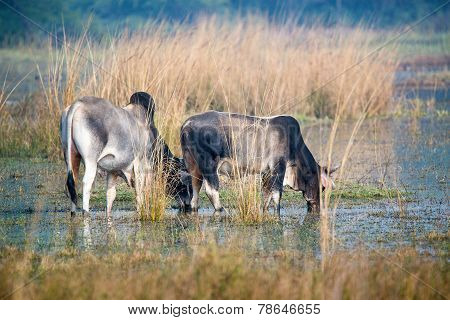Two zebu drinking water