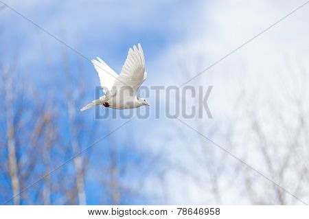 Flying White Pigeon On Blue Sky
