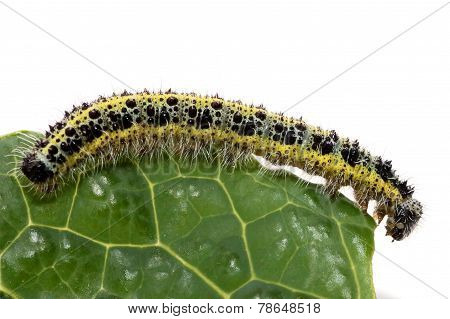 Caterpillar Of Small Cabbage White Butterfly
