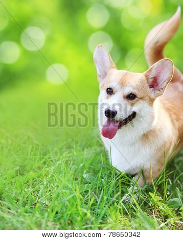 Happy Dog On The Grass In Summer Day