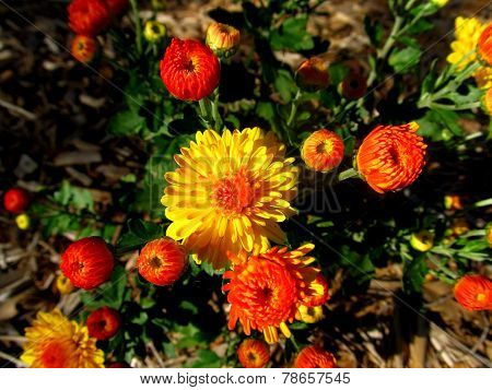 Orange and Yellow Mums