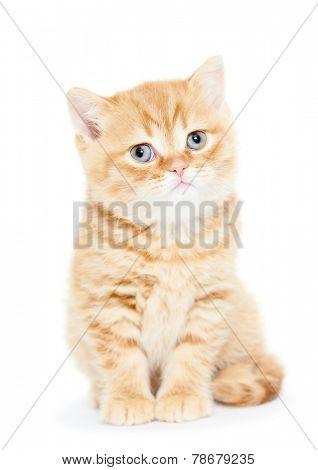 One british shorthair red kitten cat