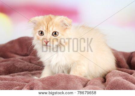 Cute little Scottish fold kitten on plaid